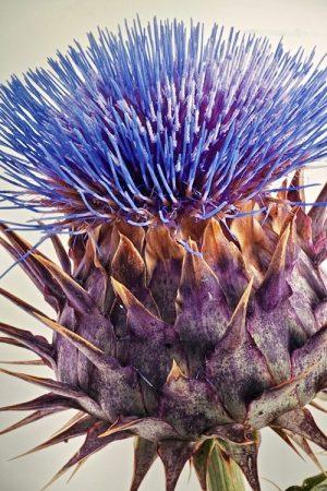 artichoke, flower, closeup