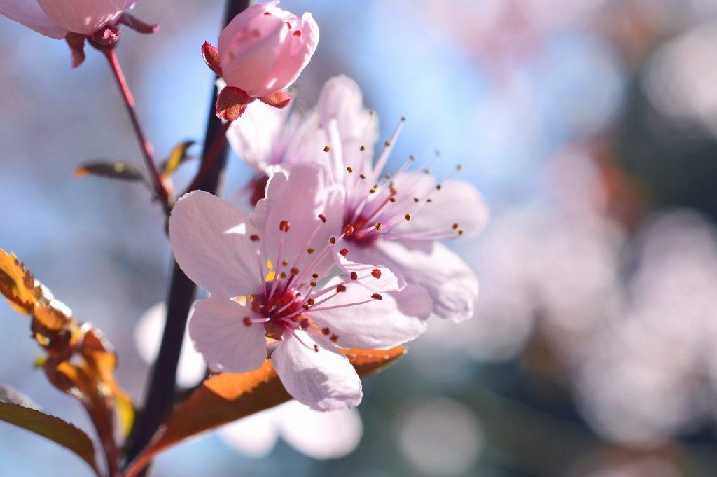 blood plum, prunus cerasifera, cherry plum