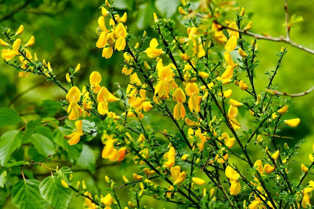 broom, yellow flower, nature
