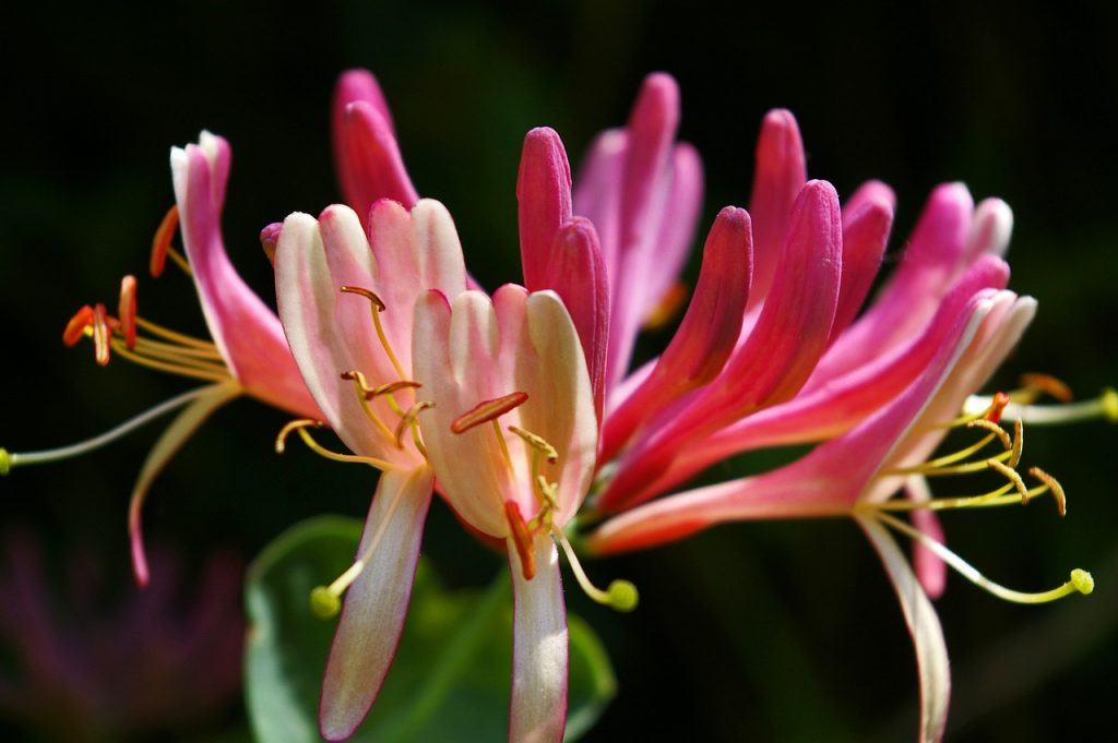 honeysuckle, creeper, plant