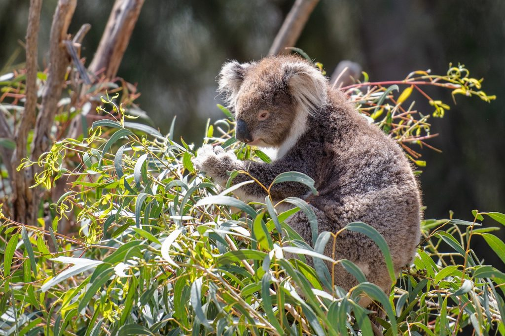 koala, marsupial, herbivore