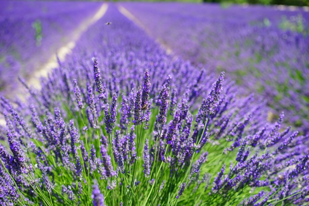 lavender cultivation, lavender field, lavender