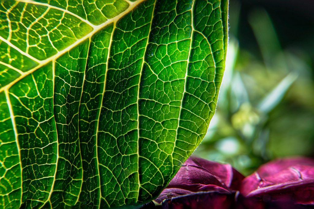 leaf, veins, leaves