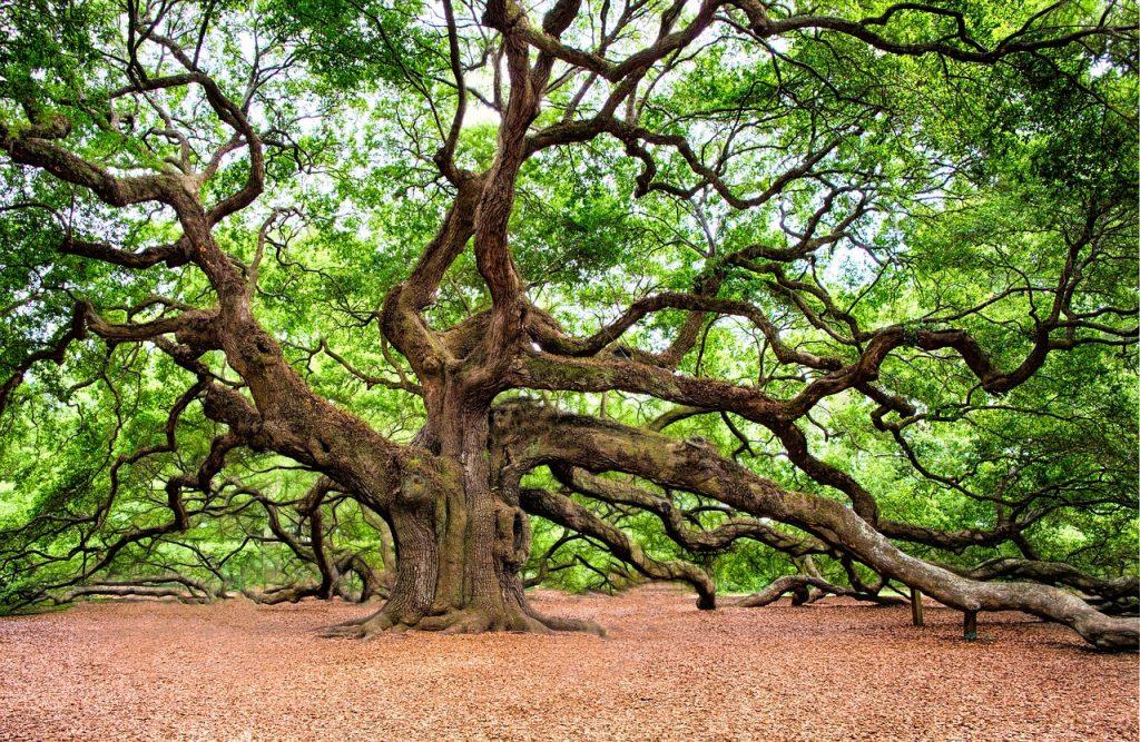 oak tree, tree, huge