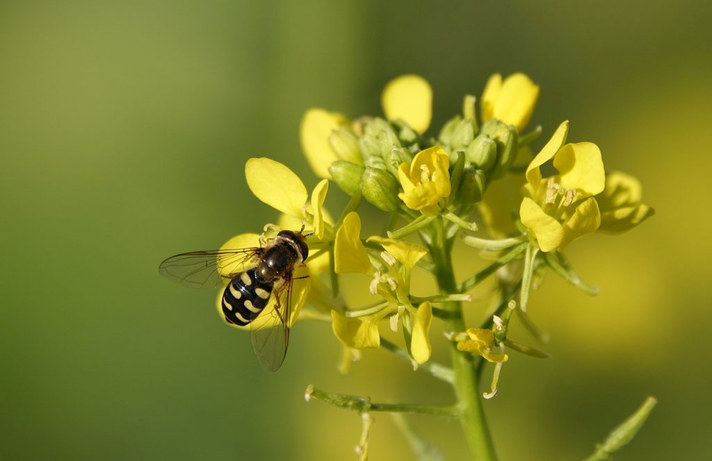 yellow mustard, mustard, insect