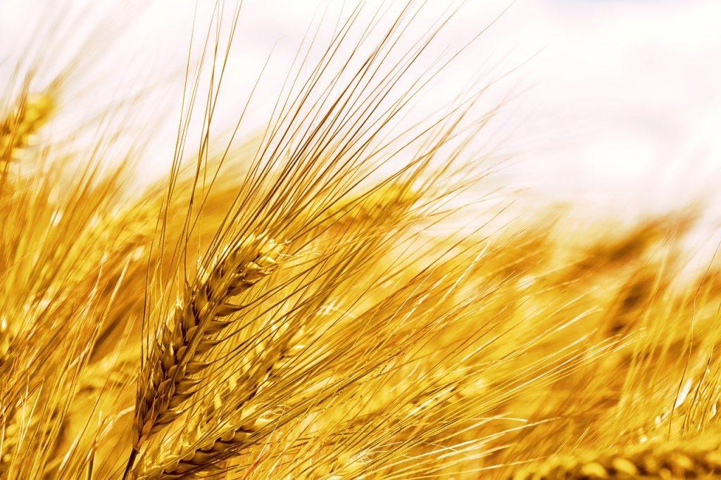 barley, cereals, ear
